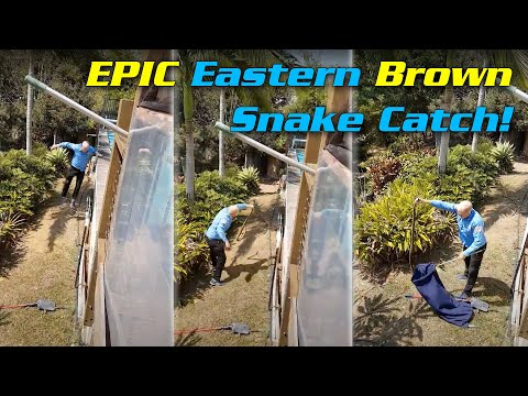 EPIC EASTERN BROWN CATCH!