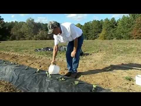 How to plant sweet potatoes in colder climates - The Tatorman