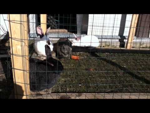 Backyard Rabbits, Ear mites?