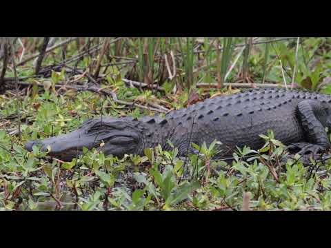 Anhingas, Pileated Woodpecker, Aligator and Bobcat at Savannah NWR March 27th  2018