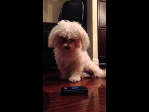 Puppy's reaction to vibrating phone
