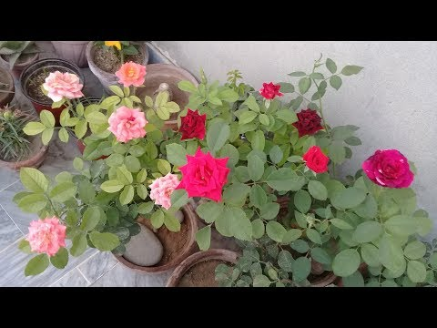 Energy booster for rose plants | Get more flowers on rose plant all year around
