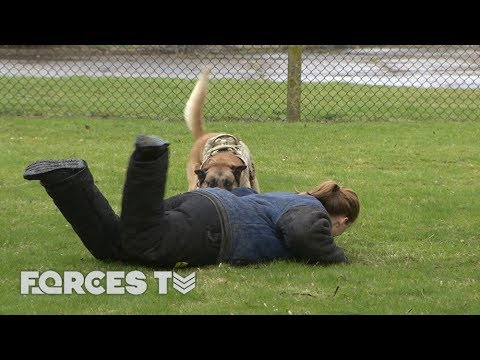 Getting 'Attacked' By The Military Dog That Protected President Obama | Forces TV