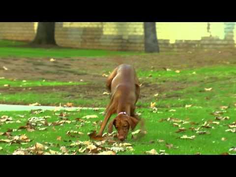 The Vizsla, Healthy Pet Best of Breeds