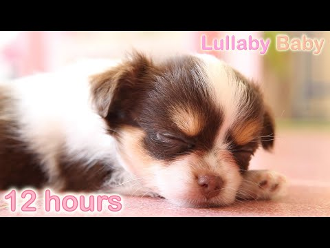 ☆ 12 HOURS ☆ Puppy Sleeping Music ♫ LULLABIES ☆ Peaceful sleep music for dogs, pets, babies