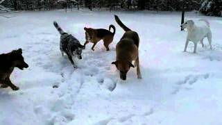 Dogs Playing, Chasing Balls in the Snow