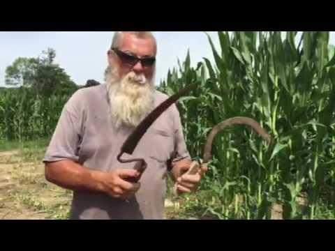 Hand cutting corn.