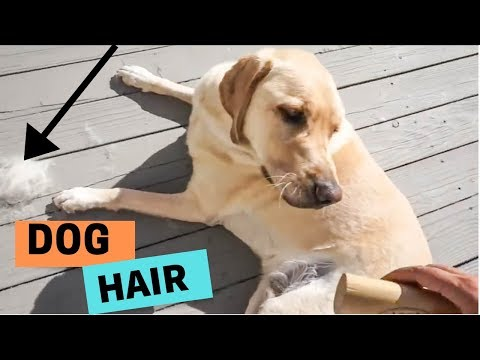How much do Dogs Shed with Zazu the Labrador