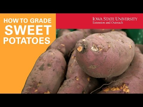 How to Grade and Cure Sweet Potatoes