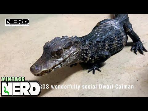 One of NERDS wonderfully social Dwarf Caiman