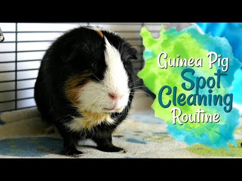 Cleaning the Guinea Pigs Cage (Mid-Week Spot Cleaning)