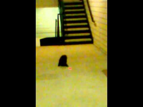 Stray Cat vs. Laser Pointer