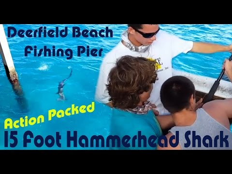Deerfield Beach Fishing Pier 15 Foot Hammerhead Shark Action Packed