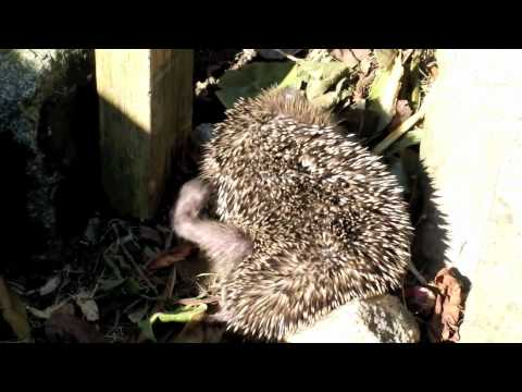 my hedgehogs have fleas