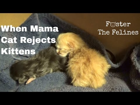 Mama Cat Rejects Newborn Kittens ~ What Do You Do? 3 Days Old  ~ Foster Litter #8