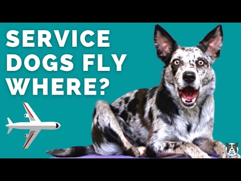Where Do Service Dogs Fly on a Plane?