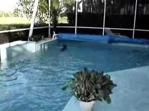 Dazzle the Swimming Boxer