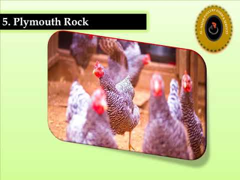 Top 10 EGG laying hens ( Golden Misri Chicken and Egg