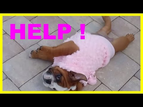 Cute puppy dog can't roll over
