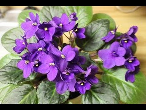 How to get African Violets to produce beautiful flowers