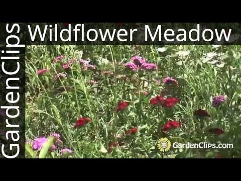 Gardening w Wildflowers - How to plant and maintain a wildflower meadow - North American Wildflowers