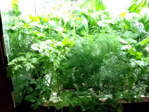 Hydroponic indoor  herb garden UPDATE WK 5