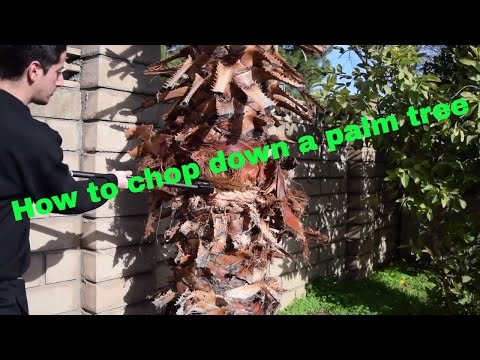 How to cut down a palm tree