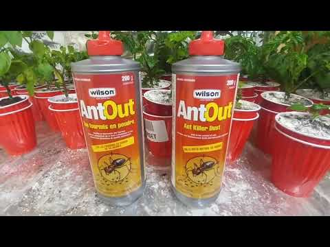 The war against the thrips/fungus gnats