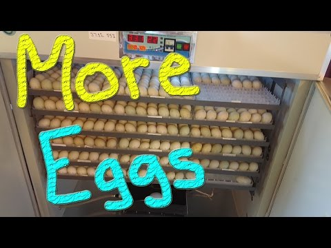 613 Duck Eggs Into The Incubator #45 Ducks For The Homeless