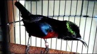 Hanya 5 Menit Dapat Bakalan Bagus Dengan Pancingan Kolibri Ninja Ngecret Nembak Download Mp3 Mp4 3GP HD Video