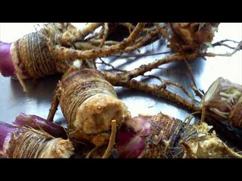 Ancient Remedy To Delay Periods Is Angelica Root- How To Use