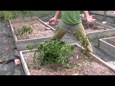 Saving Pepper Plants Through Winter in Texas