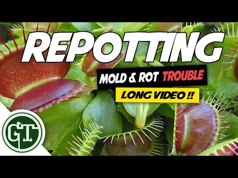 Venus Flytrap Repotting, Mold and Rot Trouble (25min long!!)
