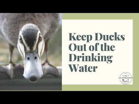How to Keep Ducks from Swimming in Water Dishes