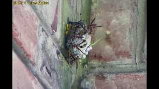 Shooting a huge wasp nest with paintballs