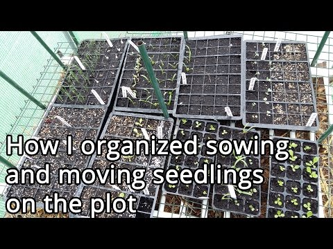 How I organized sowing and moving seedlings on the plot