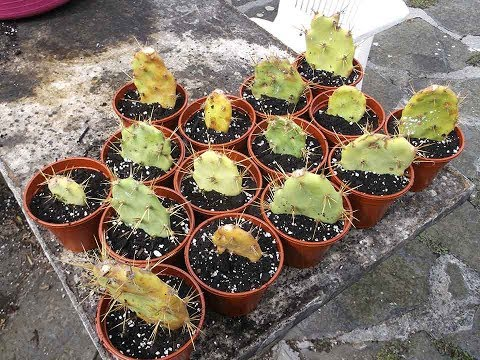 How to grow Cactus from cuttings - Opuntia 'The Prickly Pear' Cactus