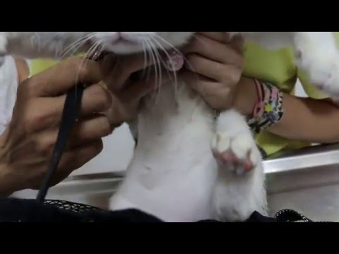 A 1-year-old female cat has flank alopecia
