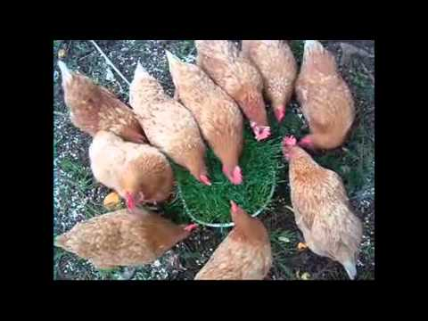 How to Raise Backyard Chickens – Do chickens eat grass? – Will chickens eat lawn? Find out