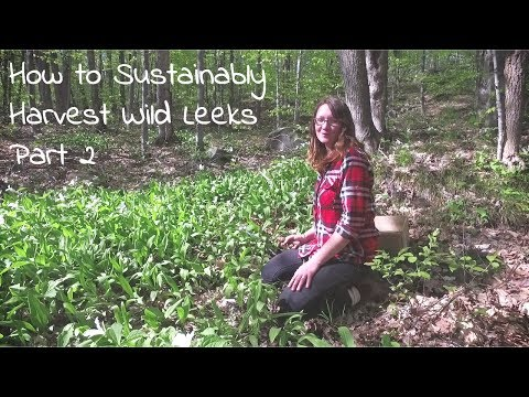 Wild Leeks, Sustainable Wild Foraging Techniques & Where to Find Ramps -  Foraging for Food part 2