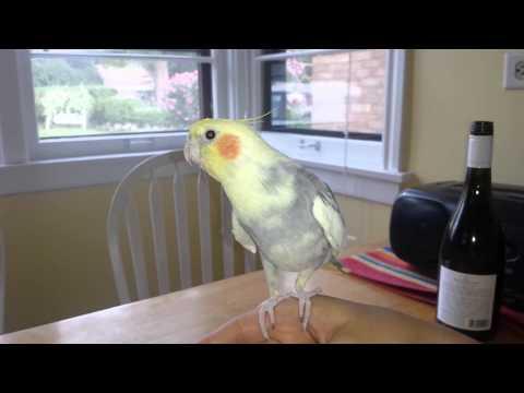 Cockatiel Talking & Whistling