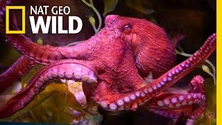 Octopuses 101 | Nat Geo Wild