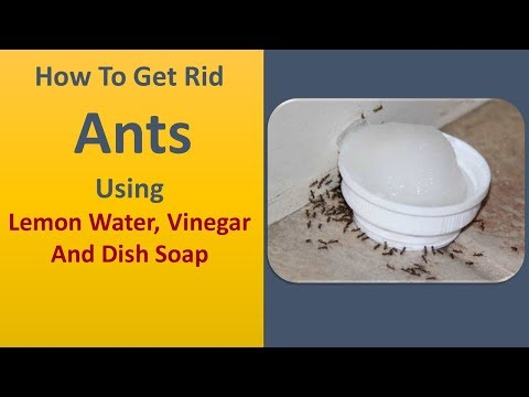 How To Get Rid Ants Using Use Lemon Water, Vinegar And Dish Soap