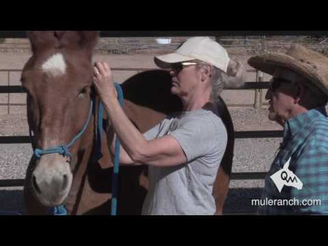 Properly Installing and Adjusting A Halter On Your Mule