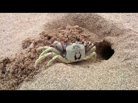 Crab digging a hole in the sand.