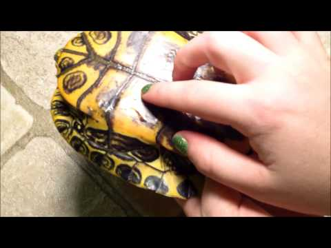 How to Tell if your Turtle's Shell is Healthy, Spot Shell Rot and Overfeeding Pyramiding.