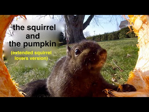 the Squirrel and the Pumpkin ( extended squirrel lovers version ! )