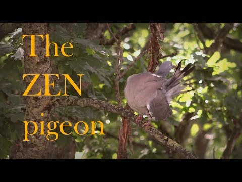 Slow TV: Pigeon Feather Maintenance in Real-time (Be Zen)