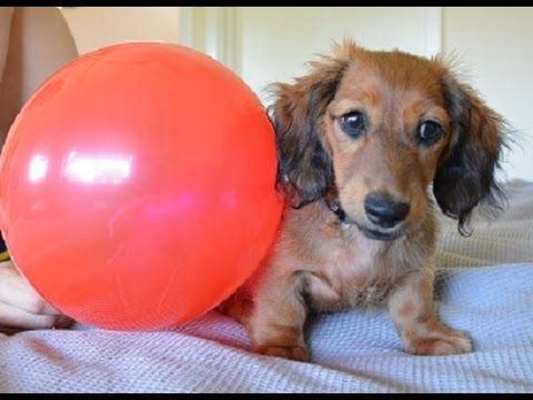 Dachshund puppy meets balloon