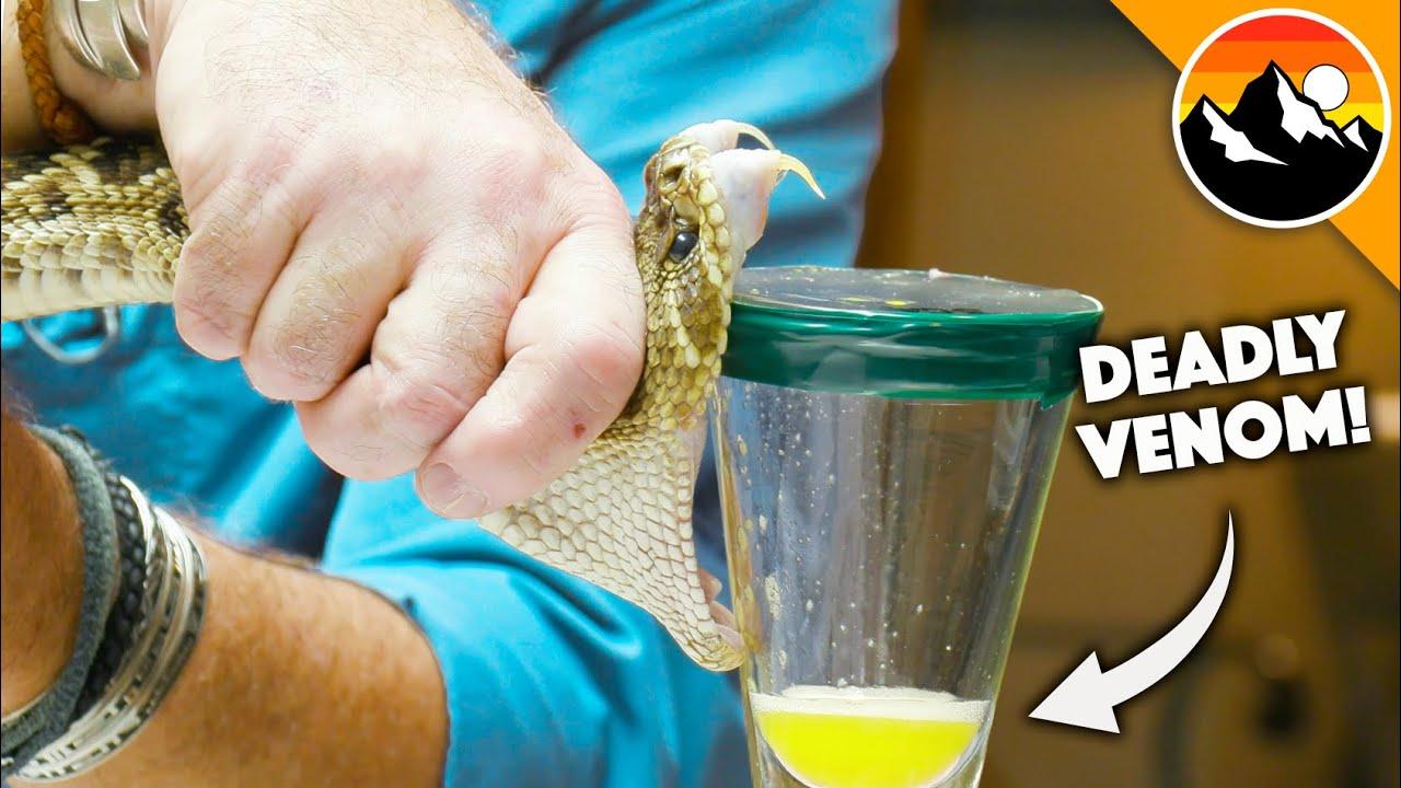 Deadliest Job in America - Snake Milker!